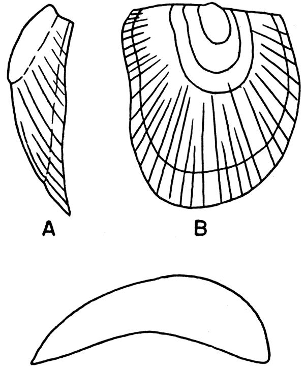 Kgs Late Paleozoic Pelecypods Pectinacea Systematic Paleontology