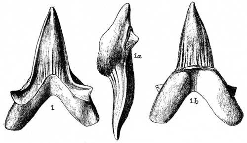Sharp Teeth Drawing Teeth Very Robust The Crown