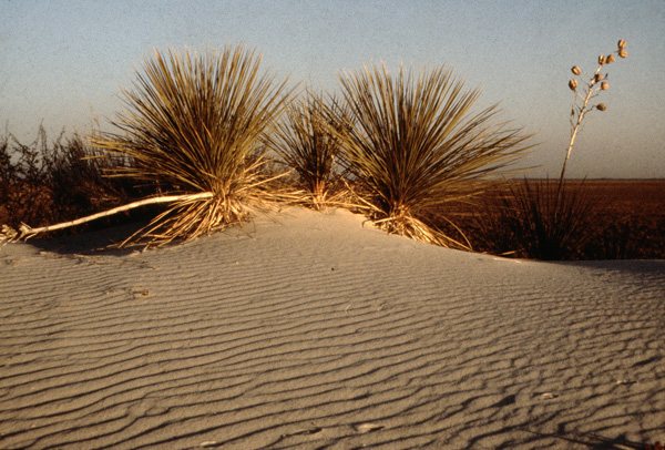 Yucca On Sand Dunes